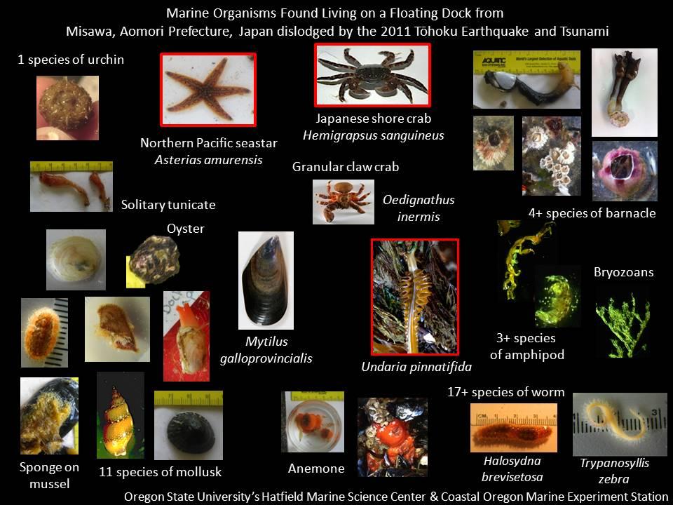 De nouvelles espèces exotiques sur la côte Ouest des États-Unis Crédits : Université de l'Oregon