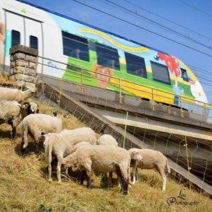 La SNCF a fait appel à une société d'éco-pâturage pour entretenir les talus - Crédit : Lou Photography