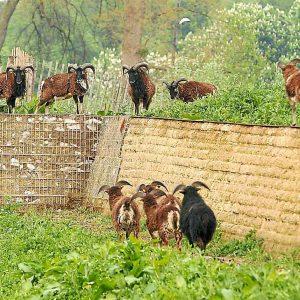 Moutons broutant dans le parc de la Citadelle, à Lille - M.Libert / 20 Minutes