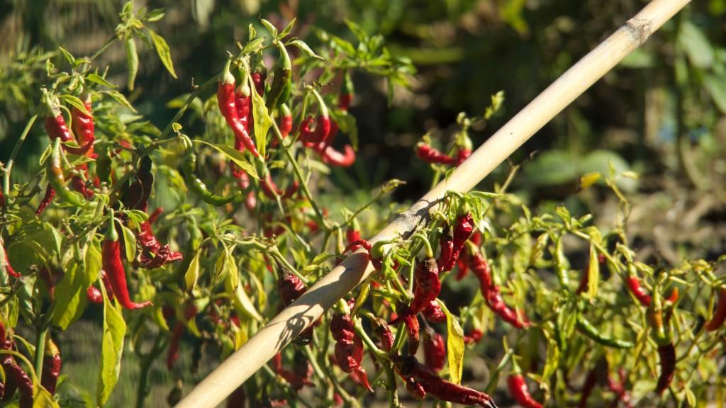 Des piments cultivés dans les jardins alésiens participent à la sécurité alimentaire des ménages les plus pauvres. © Damien Deville